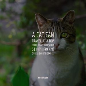 A cat can travel at a top speed of approximately 31 mph (49 km) over a short distance
