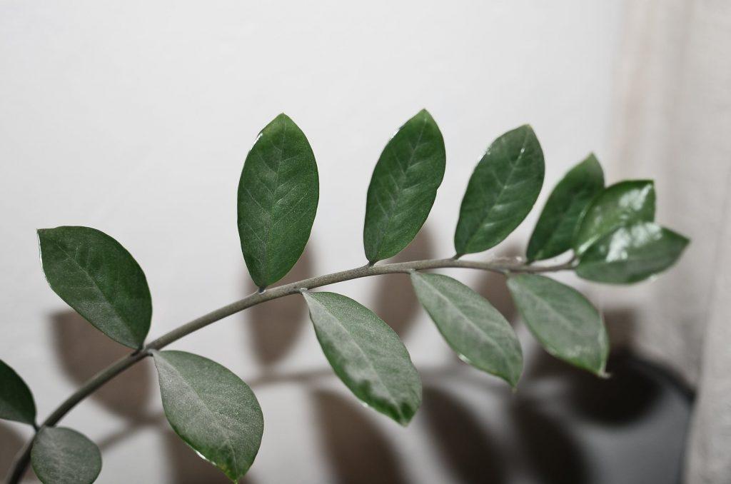 Zamioculcas zamiifolia by Skylar Kang